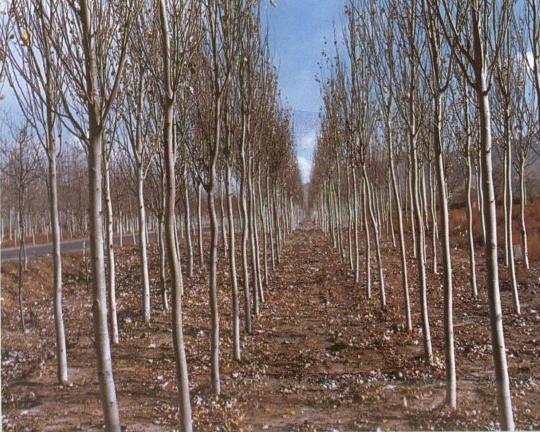 核桃树,苹果树,梨树,山楂树,枣树、花椒苗、法桐苗、山杏苗、山桃