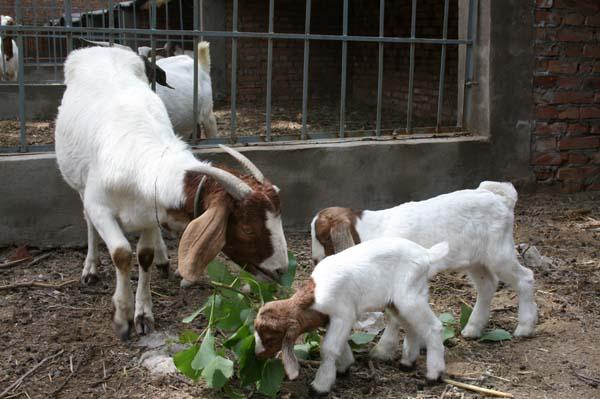养羊利润高吗 养羊前景怎么样 养羊的利润如何 养羊场