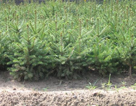 绿源促销大量优质云杉