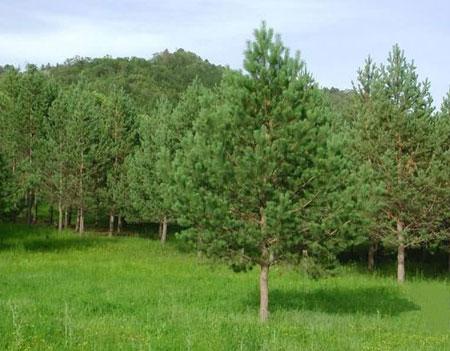 绿源促销大量优质油松