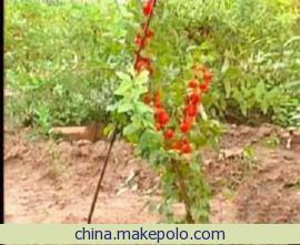 苗圃批发优质钙果苗中华钙果苗