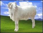 小尾寒羊养殖技术 小尾寒羊价格
