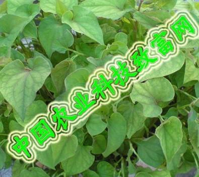 草根植物--鱼腥草