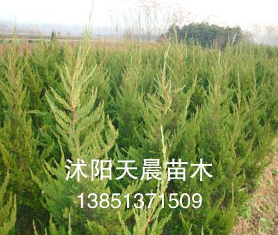 2011沭阳天晨销售苗木龙柏