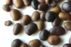 供应国槐种子、刺槐种子、花椒种子