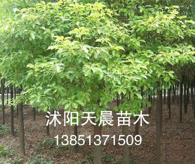 销售沭阳天晨优质苗木—香樟