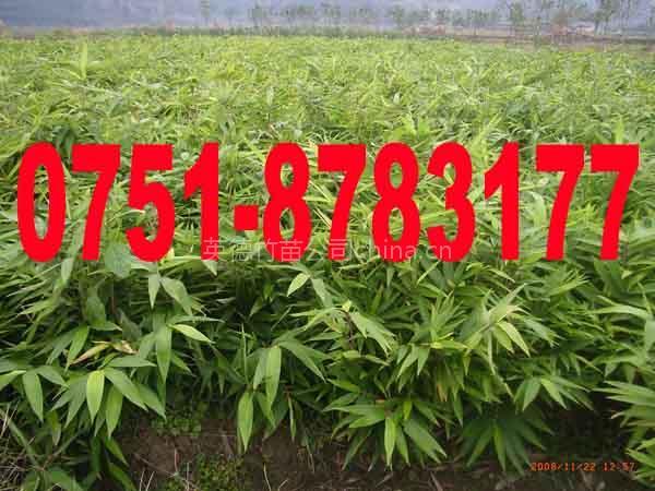 供应毛竹种籽