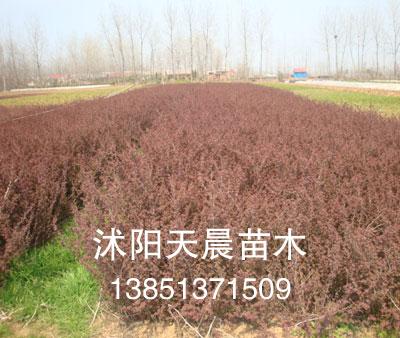2011沭阳天晨苗木红叶小檗
