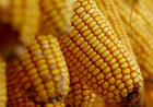 玉米,小麦,麸皮