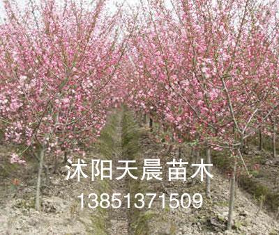 2011沭阳天晨销售苗木垂丝海棠