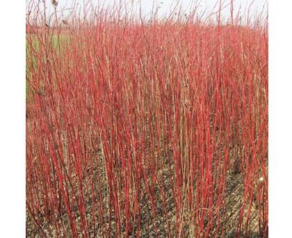 异色树种红瑞木