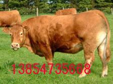 山东鲁长期供应鲁西黄牛 西门塔尔牛 波尔山羊肉牛 肉羊 肉驴牛犊