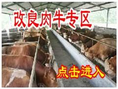 山东大型肉牛养殖场|肉牛养殖基地