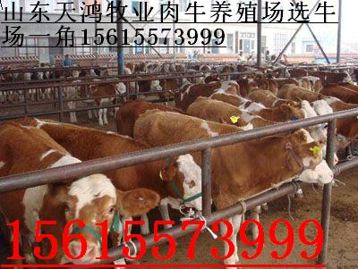 羊马羊驴牛肉牛肉牛犊肉牛犊天鸿牧业调拨基地山东肉牛济宁肉牛价格