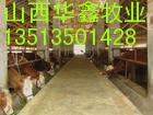 山西育肥牛 育肥牛价格 育肥牛品种