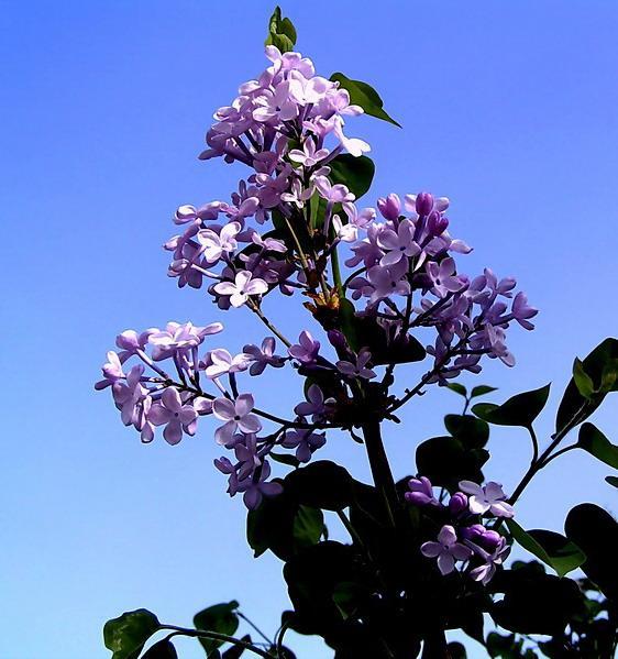 紫叶稠李、桧柏、侧柏、榆叶梅、珍珠梅、金叶榆、丁香、连翘、女贞、忍冬、红瑞木、玫瑰