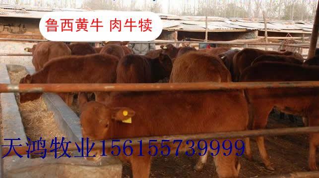 天鸿牧业养牛场急售3000头西门塔尔肉牛犊,肉牛,育肥牛,繁殖牛