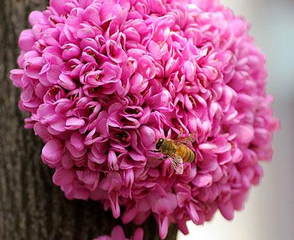 喜光喜肥植物紫荆