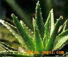 日用化学品中的芦荟丝素胶原保湿剂