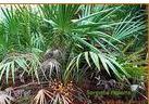 供应锯叶棕提取物Saw palmetto P.E.