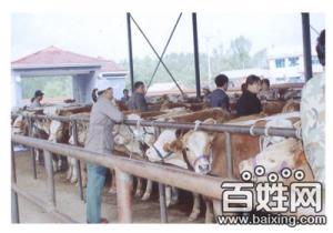 山西八一牧业出售肉牛