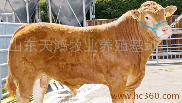 养牛基地|肉牛养殖场|牛犊价格|肉牛天宏牧业|黄牛养殖|肉羊养殖