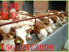 河南养牛场|天宏牧业|云南养牛场|山西养牛场|天宏牧业