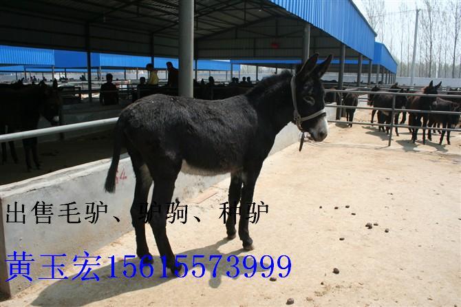 肉驴养殖|我想养驴|如何养驴|养驴赚钱吗|养驴到天宏肉驴养殖场