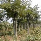 国槐树种植|国槐价格|最新国槐价格|国槐树|最新国槐价格