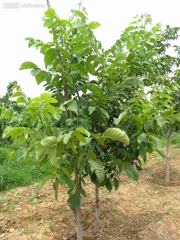 供应3年矮化苹果苗、苹果苗价格、苹果苗种植技术与嫁接技术