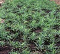 苗农供应1-2年营养钵樟子松1-2年营养钵华山松