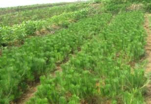 苗农供应20-50公分油松、1-3米油松、油松种籽