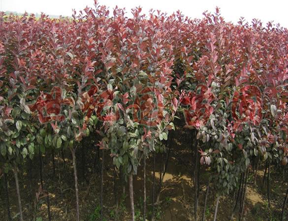 山西供应5-7公分紫叶李、2-7公分红叶李