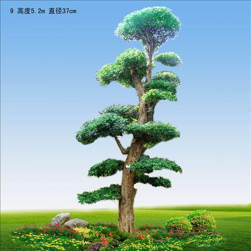 小花苑对节白蜡苗木盆景基地的所有产品  2 产品说明:对节白蜡树型