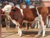 山东畜牧局原种场供优质改良肉驴 致富不再难养殖牛羊基地