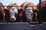 优良肉牛种牛、纯种肉牛犊、改良肉牛苗、杂交育肥牛、肉牛养殖育肥
