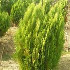 供应1-1.5米的侧柏苗 油松