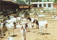 波尔山羊 波尔山羊育肥技术 盛华牧业 大量出售波尔山羊