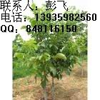 钙果苗 供应钙果苗 出售钙果苗 组培钙果苗 钙果苗价格 钙果树苗