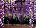 丛生紫薇 2公分紫薇3公分紫薇5-6-7公分紫薇