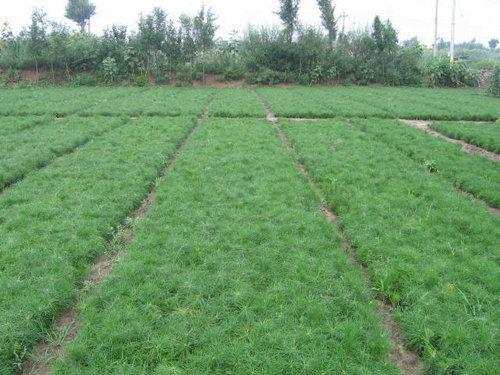 油松苗,油松小苗,油松价格,山西油松基地,各规格油松