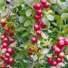 钙果苗,山西钙果苗,钙果苗价格,优质钙果苗,钙果苗基地