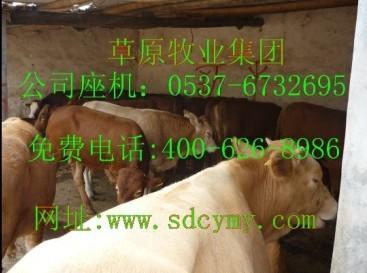 P肉牛种羊肉驴良种省级牧业基地提供养牛技术肉牛养殖技术