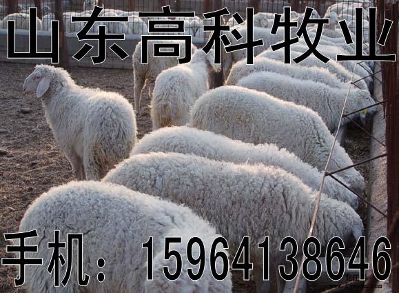 出售波尔山羊小尾寒羊育肥羊小羊羔肉羊羔山东菏泽郓城县
