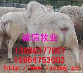 牛羊供求牛羊养殖牛羊行情牛羊育肥品种改良牛羊价格