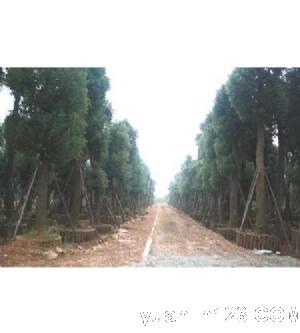 全国香樟树指定供应市场 湖南益阳非凡园林公司