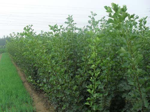 供应柿子苗 柿子树