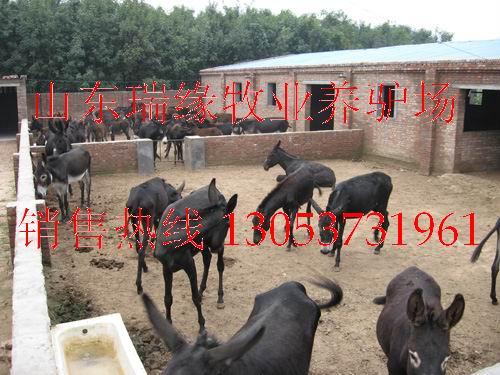 养驴,驴的品种,驴苗,肉驴价格,驴的价格,驴的养殖,养驴场,养驴利润