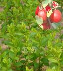 供应山西钙果苗海棠苗苹果苗枣树苗葡萄苗