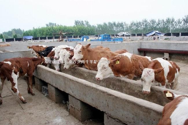 养牛,养牛场,牛犊,鲁西黄牛,西门塔尔牛,牛的养殖,养牛技术,肉牛养殖场